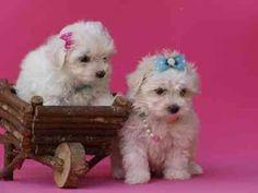 Bichon Maltes: origen, cuidados, precio, perro, características, alimentación, imágenes y vídeos: Ficha Técnica del Bichón Maltés Maltese Puppies, Dogs And Puppies, Puppy Pictures, Adorable Animals, Babys, Baby Animals, Pink, Animal Babies, Super Cute Animals
