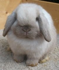 Welcome to our Holland Lop Rabbitry: Bunny Lops in Georgia http://www.bunnylops.com/