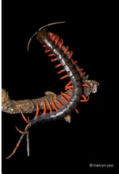 22 Best Centipedes images in 2014 | Bugs, insects, Weird