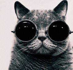 ριитєяєѕт: @ѕσρнιєкαтєℓσνєѕ | 22 Photos Cute Cats With Sunglasses