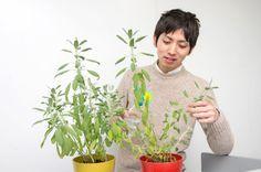 Mr.Mori  https://www.facebook.com/herbsdiary
