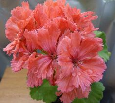 Malva, Love Flowers, Beautiful Flowers, Geranium Flower, Heaven On Earth, Houseplants, Hibiscus, Garden Design, Cactus