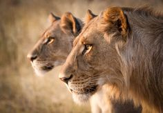 Earth Ark Safaris - Brother and Sister - (Khwai River, Botswana) Copyright Steven Stockhall