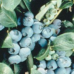 Duke Early Season Blueberry Plants
