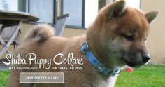 baby boy in blue Custom Dog Collars, Puppy Collars, Breakaway Cat Collars, Fancy Cats, Grey Hound Dog, Dog Wedding, Shiba Inu, Dog Leash, Corgi