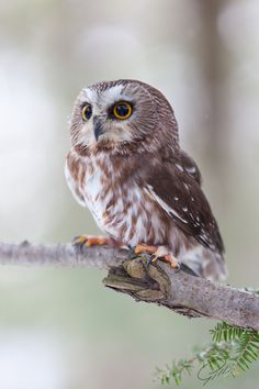 I wish owls could be pets. I'd have a pet owl. Id have lots of pet owls, I'd be the crazy old owl lady :) Beautiful Owl, Animals Beautiful, Cute Animals, Owl Bird, Pet Birds, Saw Whet Owl, Photo Chat, Tier Fotos, Mundo Animal
