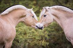 Cute Horse Pictures, Horse Photos, Fjord Horse, Friesian Horse, Beautiful Arabian Horses, Majestic Horse, Cute Horses, Horse Love, Super Cute Animals
