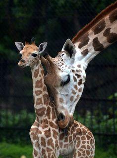 """Cuddle time"" :: A mother giraffe licks her baby giraffe calf. Alipore Zoological Garden, Kolkata, India, June 2013 [by Dibyangshu Sarkar / AFP - Getty Images] Giraffe Pictures, Animal Pictures, Nature Animals, Animals And Pets, Wild Animals, Beautiful Creatures, Animals Beautiful, Zoological Garden, Animal Tracks"