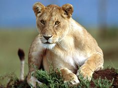 This short but thorough lion facts hub is an investigation into the most popular of Big Cats, the lion. King of beasts and lauded in lore and legend, this African wild cat catches the imagination. Pisa, Zoo Animals, Cute Animals, Wild Animal Wallpaper, Tier Wallpaper, Wallpaper Wallpapers, Wild Animals Pictures, Animal Pictures, Lion And Lioness
