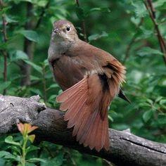 """Résultat de recherche d'images pour """"Rossignol oiseau"""""""