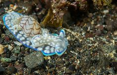 Bubble snails (Micromelo undata) are an intermediate between slugs and snail, as the shell almost takes on a vestigial form in these animals.