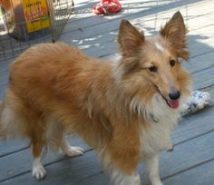 Monarch is an adoptable Shetland Sheepdog Sheltie Dog in Charlottesville, VA. Pretty little Monarch lived most of her young life outdoors without enough human interaction, and she is extremely shy and...