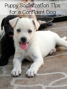 Puppy Socialization – The Key to Overcoming Fears: The key to a well adjusted puppy is socialization. With proper socialization, your puppy will be able to navigate the world with less fear or aggression. Training Your Puppy, Dog Training Tips, Dressage, Cute Puppies, Cute Dogs, Socializing Dogs, Puppy Socialization, Aggressive Dog, Service Dogs
