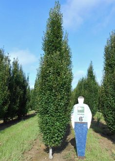 Designing a formal hedge? You should be using Pyramidal European Hornbeam. Great columnar, low branched, shade tree for your hedges! Hornbeam Hedge, Arborvitae Tree, Screen Plants, Privacy Plants, Landscaping Along Fence, Outdoor Landscaping, Landscaping Ideas, Columnar Trees, Deciduous Trees