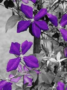 Black and White Photos with Color Accents | Ray Porter Purple Passion (Black and White with Color) Canvas Art ...