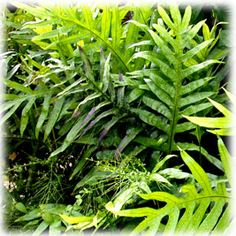 Wart fern (Microsorum scolopendrium) or Pakis toker - 2' tall, medium growth rate, partial shade, use as ground cover