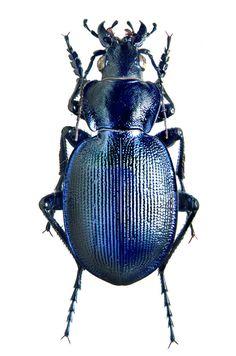 Callisthenes (Calosoma) panderi)
