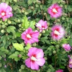 Hibiscus syriacus & & Hibiskus / Garteneibisch & The post Hibiscus syriacus & & Hibiskus / Garteneibisch & appeared first on Christin Freud. Backyard Plants, Backyard Landscaping, Garden Plants, Tree Pruning, Bonsai Garden, Wood Bridge, Exotic Flowers, Plant Decor, Hibiscus