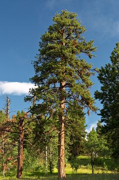 Google Image Result for http://www.treeinabox.com/kz-content/images/pages/images/ponderosa%2520pine%25201a.jpg