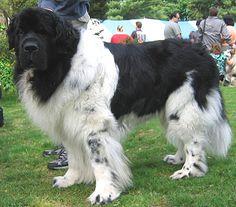 working dogs breeds | ... http://www.dogsindepth.com/working dog breeds/images/landseer_h03.jpg