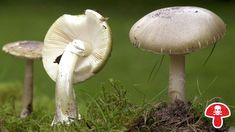Grüner Knollenblätterpilz, tödlich giftig | Bild: picture-alliance/dpa
