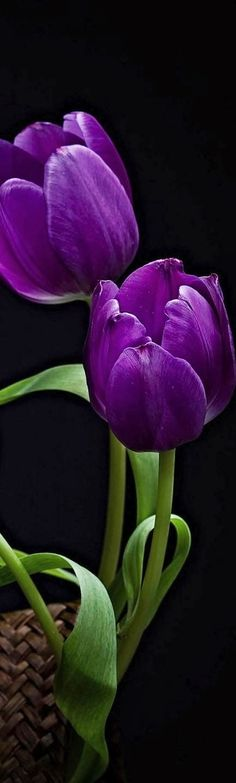 Stunning Views: Purple Tulips