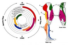 Visual Representation of Cycling Leg Muscle Anatomy during the pedal stroke