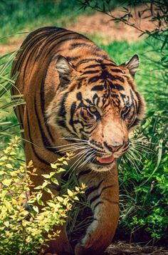 Tiger  unusual in there is no white on the face except for for whisker pads and chin