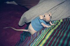 Hairless rat in sweater