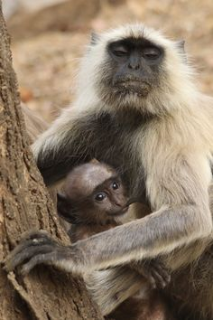 """A Mother's Love"" by Ann Sullivan: India's Ranthambore National Park is home to many langurs, members of the family of Old World monkeys. This mother and baby were near one of the park's entrances.  This photo was taken while in India with Nat Hab."