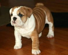 Bulldog pup looks a dead ringer of our dog king