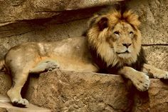 Lions......