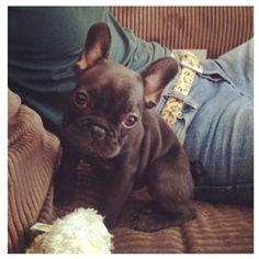 bunny dog #frenchbulldog #baby #cute