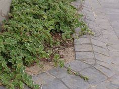 Old English Cobbled Driveway is detailed with raised borders around a flowerbed. Cobbled Driveway, Driveway Ideas, Old English, Flower Beds, Backyard, Exterior, Plants, Design, Garage Ideas