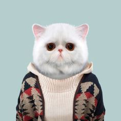 Exótica gato de pelo corto - Felis Catus