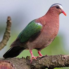 Pictures of Pigeons and Doves: Emerald Dove