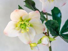 Tutorial Christrose aus Blütenpaste / Helleborus Tutorial * - YouTube
