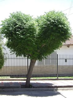 Heart shaped tree...I want one!!!