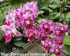 Rare Semi Orchid Bonsai Blue Butterfly orchidea bella Phalaenopsis 20 PCS