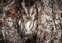 Picture of an eastern screech owl by Graham McGeorge, from the 2013 National Geographic Traveler Photo Contest. An impressive eye caught the feathered distinction amidst the hollow, revealing natures talent for camoflage.