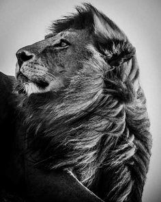 "Saatchi Online Artist: Laurent Baheux; Giclée 2007 Photography ""Lion always in the wind"""