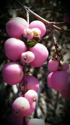 Pink Snowberry.