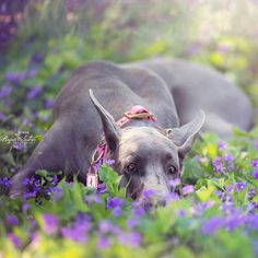 A little bling never hurt nobody Beautiful @freyaeverafter_ enjoying the spring flowers because dogs love spring too. She is wearing our Great Dane size in pink with our crystallized large dog charm. Thank you Rupa for including us in another amazing picture Freya de @freyaeverafter_  disfrutando de la primavera . Lleva nuestro accesorio precioso con cristales de marca en la talla especial para perros gigantes. xxx #barcelonadogs #dogcollar  #dogboutique #hund #dog #chien #perros #swarovski…