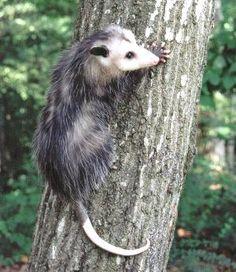 Didelphis virginiana...   East Tennessee Wildlife Rehabilitation Council