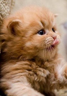 Kitten ~ Little cutie. I can not even stand how adorably cute this kitten is. I want it. Now.