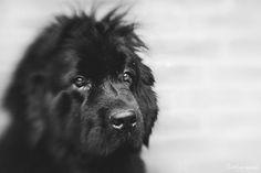 #Lensbaby #Newfoundlanddog #Portrait