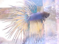 Betta Splendens, commonly known as the Siamese Fighting Fish, is one of the most beautiful freshwater tropical fish available for the home aquarium. Cute Creatures, Beautiful Creatures, Animals Beautiful, Sea Creatures, Betta Aquarium, Pretty Fish, Beautiful Fish, Aquariums, Tropical Fish Pictures
