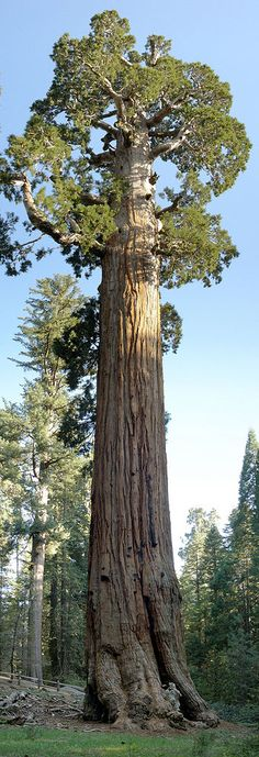 """The General Grant Tree, giant sequoia that dominates the Grant Grove Section of Kings Canyon National Park. Designated """"The Nation's Christmas Tree"""" by President Calvin Coolidge in 1926, it's almost the largest living tree in the world, second only to the General Sherman Tree of Giant Forest in neighboring Sequoia National Park."""