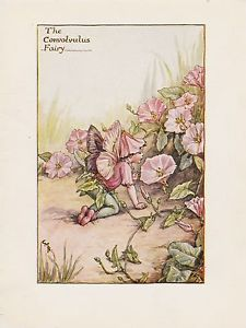 Convolvulus Flower Fairy