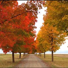 Maple tree-lined driveway!!!